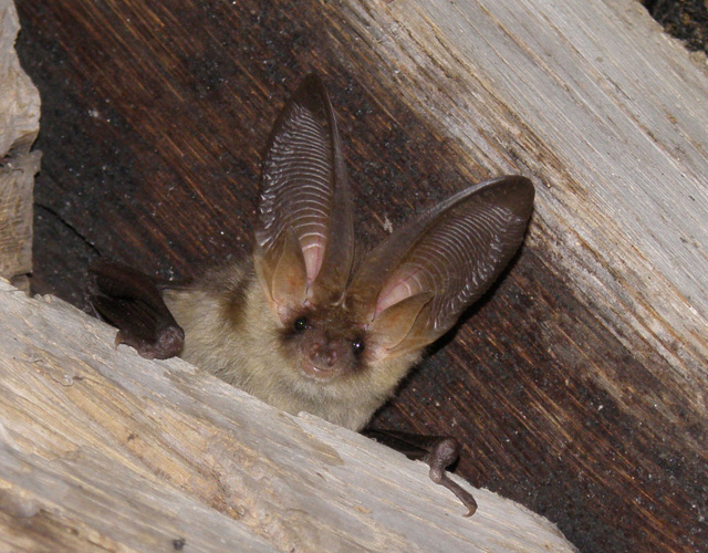 Brown long eared bat © Rob Parkin
