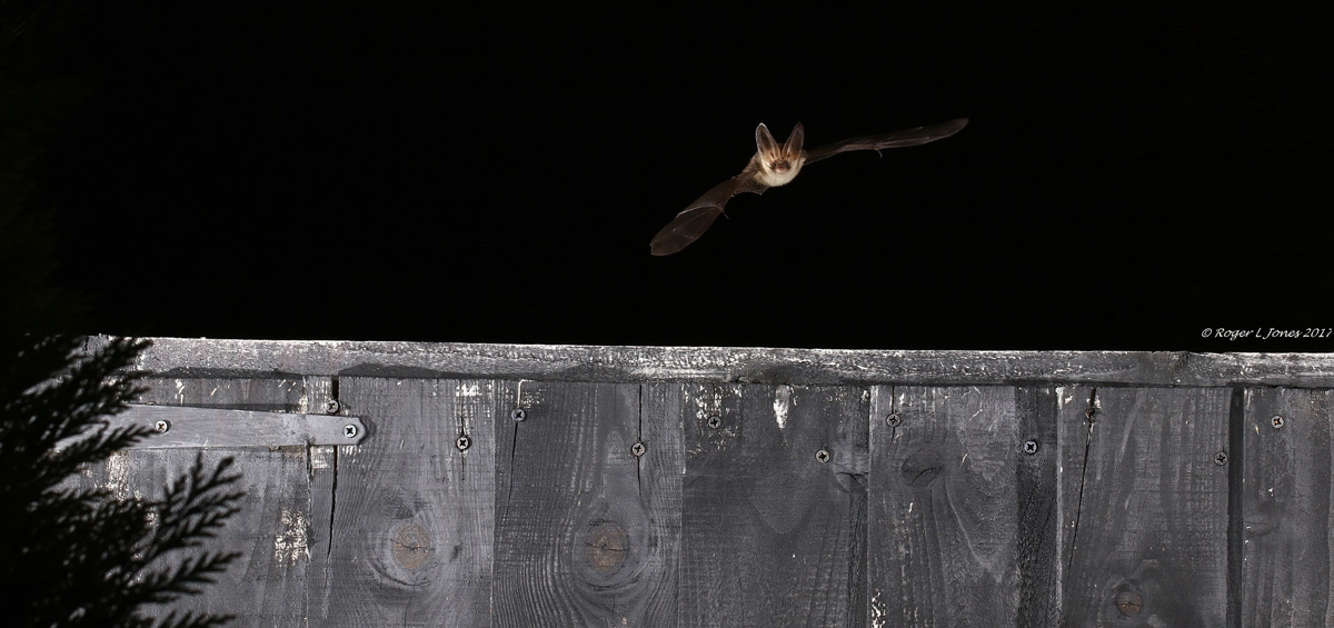 Flying Brown Long-Eared Bat © Roger L Jones