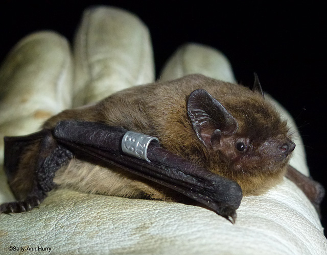 Nathusius' pipistrelle bat © Sally-Ann Hurry